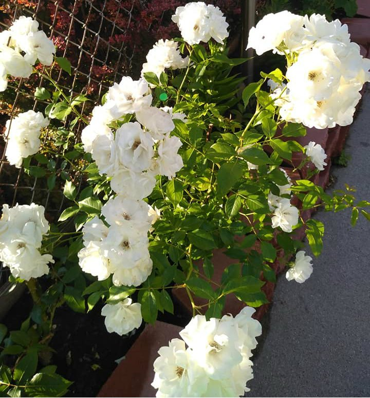 flowers white roses with ate doti1.jpg