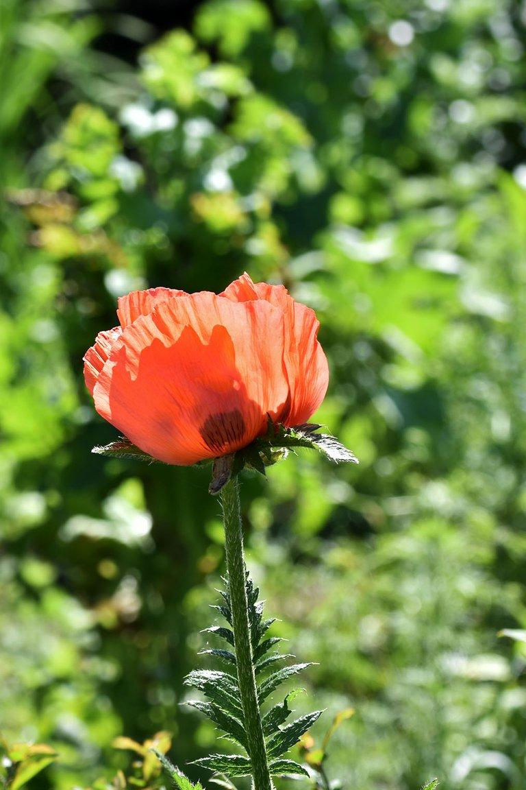 Poppy garden bokeh.jpg