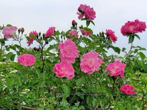 c.c. Pink Rose 4.png