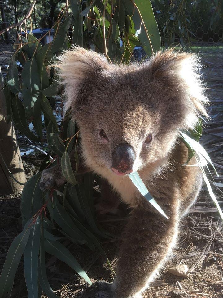 wild koala.jpg