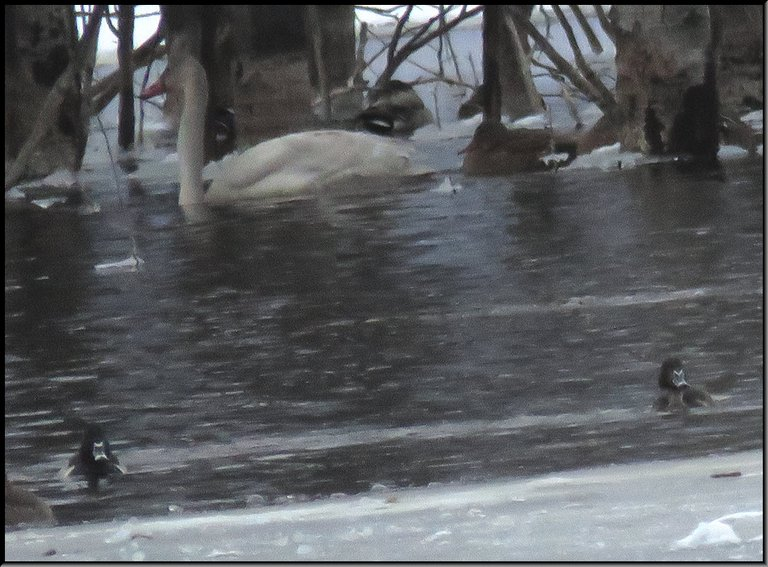 juvenile swan with 2 ring necked ducks swimming in icy water.JPG