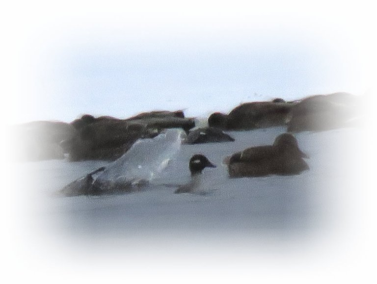 splash from diving duck and 1 duck just coming up from dive.JPG