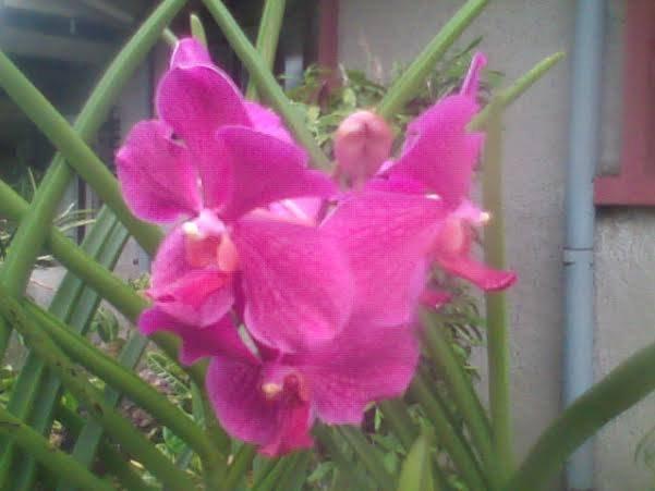 flower orchid veltuse alba fucshia at home.jpg