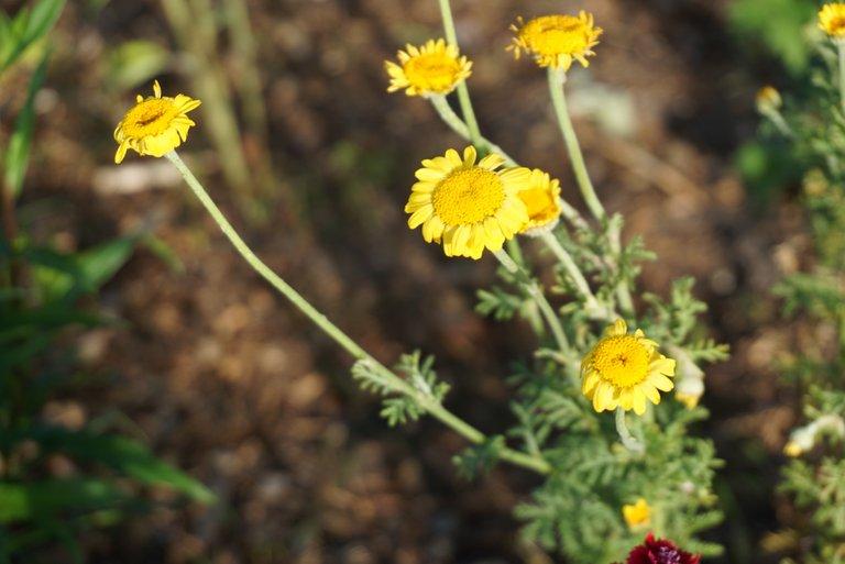 Chrysanthemums | Chrysanthemen | Chrysanthemum