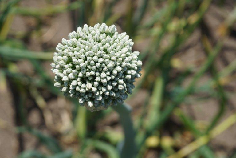 Onion inflorescences