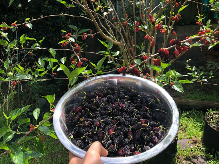 Picking some Mulberries from the backyard