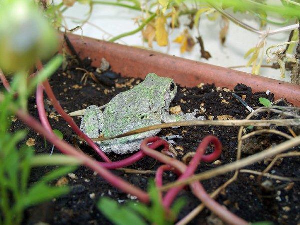 Frog6 crop Aug. 2017.jpg