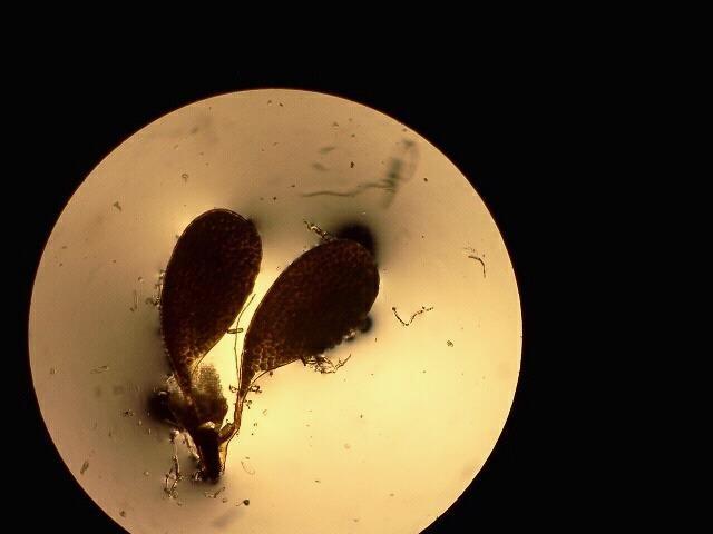 calotropis sacos polinicos.jpg