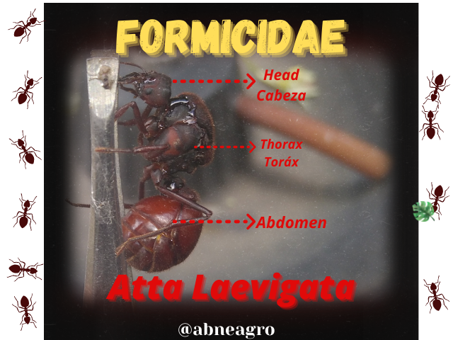 Formicidae(4).png