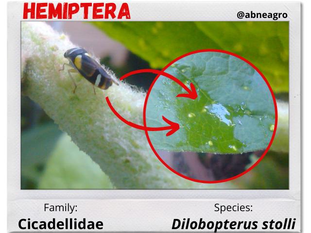 Hemiptera 3.png