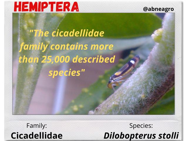 Hemiptera 1.png