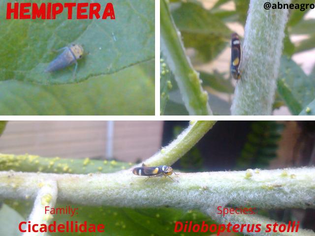 Hemiptera 7.png