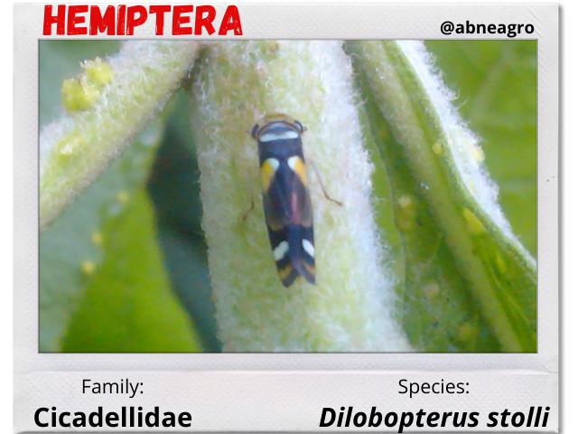 Hemiptera 6.png