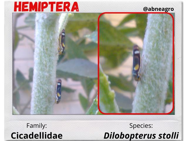 Hemiptera 2.png
