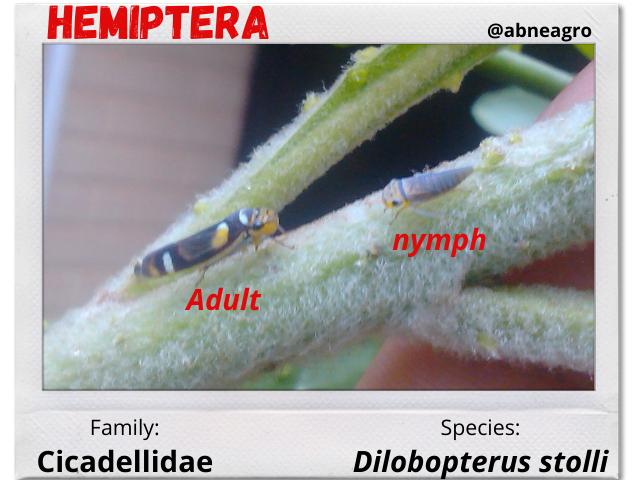 Hemiptera 4.png