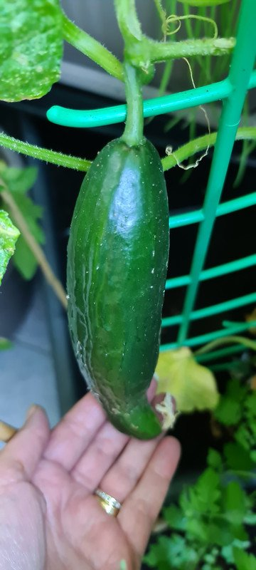 Almost fully grown Cucumber