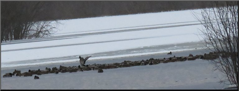 band of ducks huddled together resting on icy water 1 stretching wings.JPG