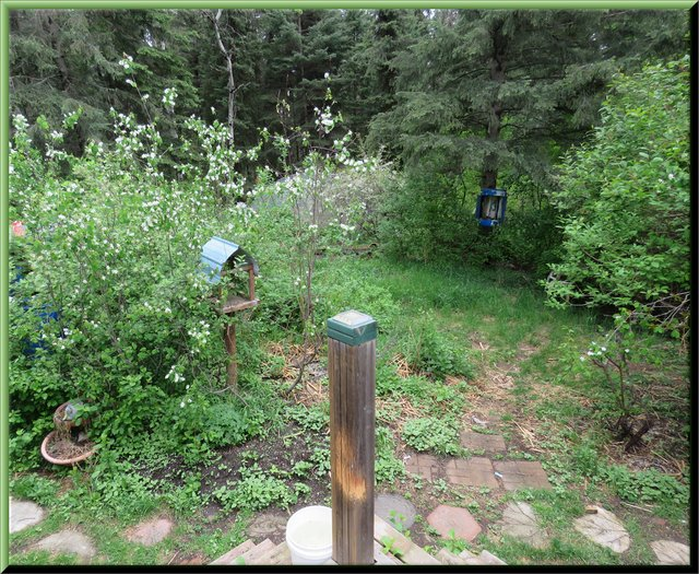 veiw off deck looking towards Saskatoon bushes in bloom by bird feeder.JPG