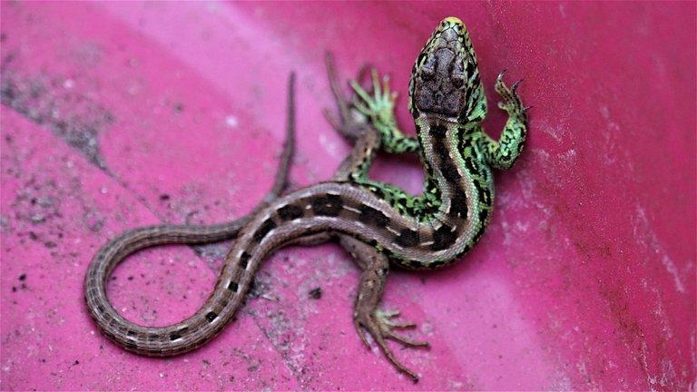 lizard-4291013_1280.jpg