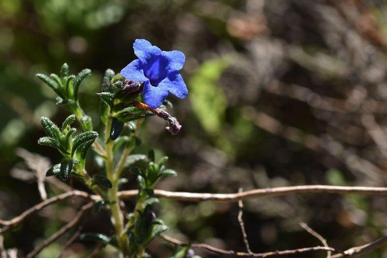 Lithodora prostrata blue wildflower 11.jpg
