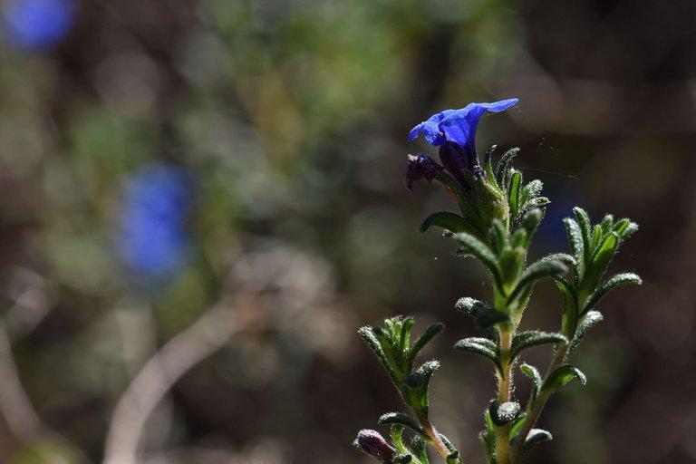 Lithodora prostrata blue wildflower 10.jpg