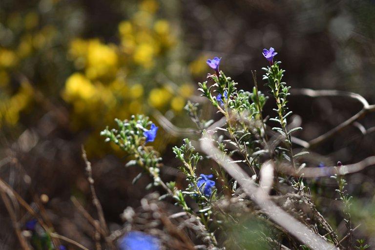 Lithodora prostrata blue wildflower 12.jpg