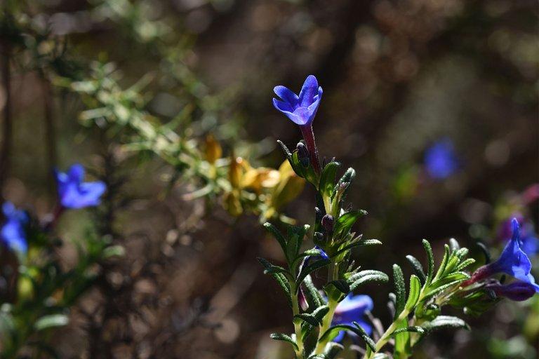 Lithodora prostrata blue wildflower 14.jpg