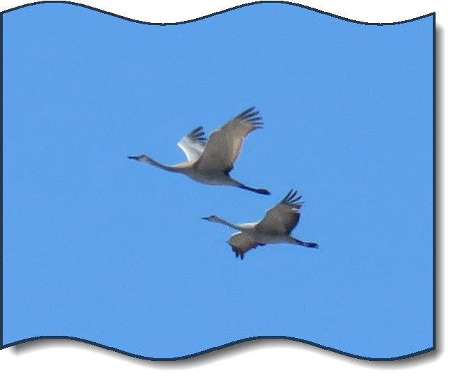 close up beautiful cranes in flight.JPG