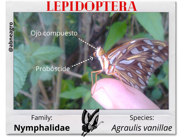 Lepidoptera 4 partes.png