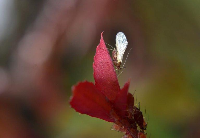 ruth-girl aphids (3).JPG