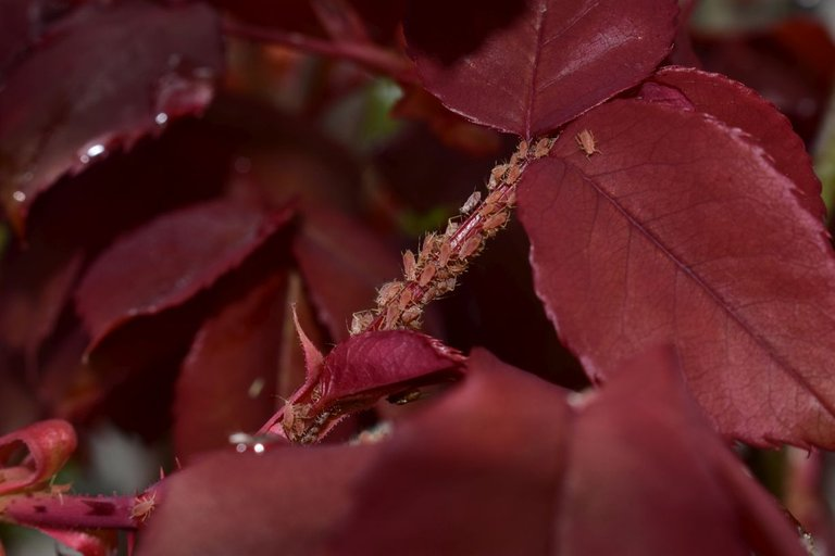 ruth-girl aphids (1).JPG