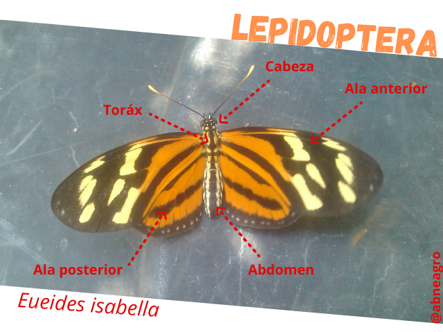 Lepidoptera partes 1.png