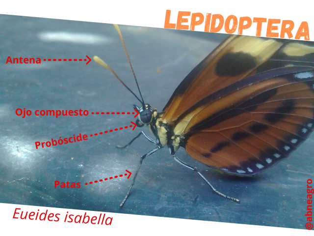 Lepidoptera partes 2.png