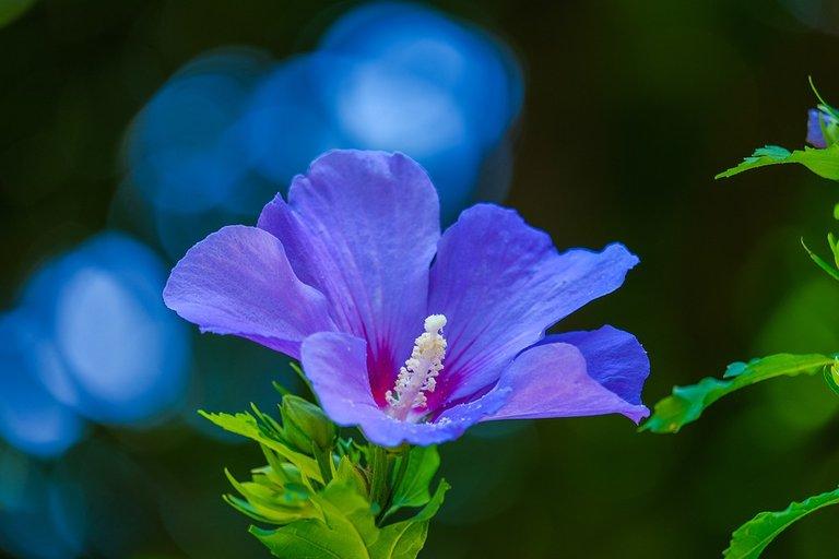 hibiscus-4774822_960_720.jpg