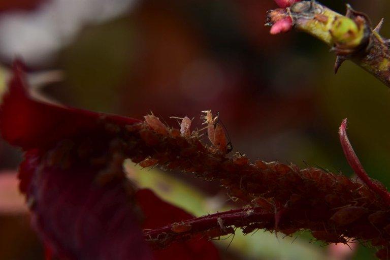 ruth-girl aphids (6).JPG