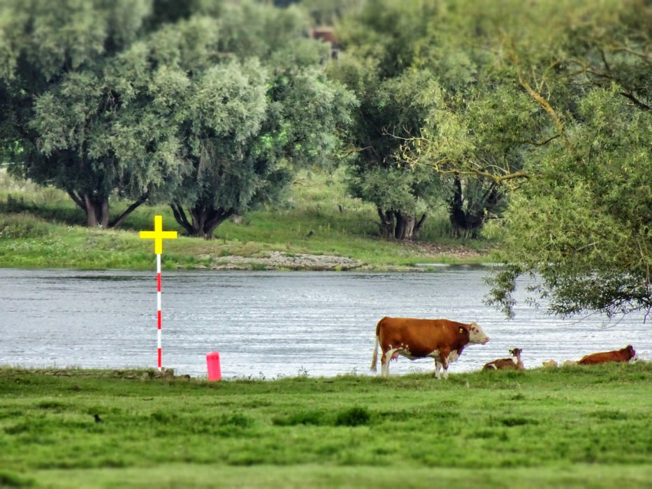 The river Elbe and his rulers: Cows.