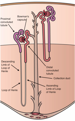 A diagram of the Nephron