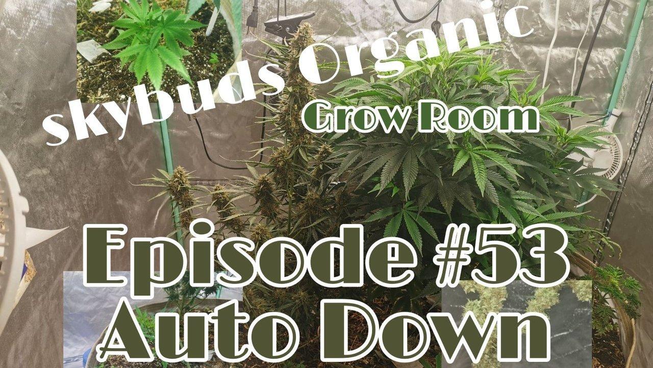 Skybuds Organic Grow Room #53 - Autoflower Down