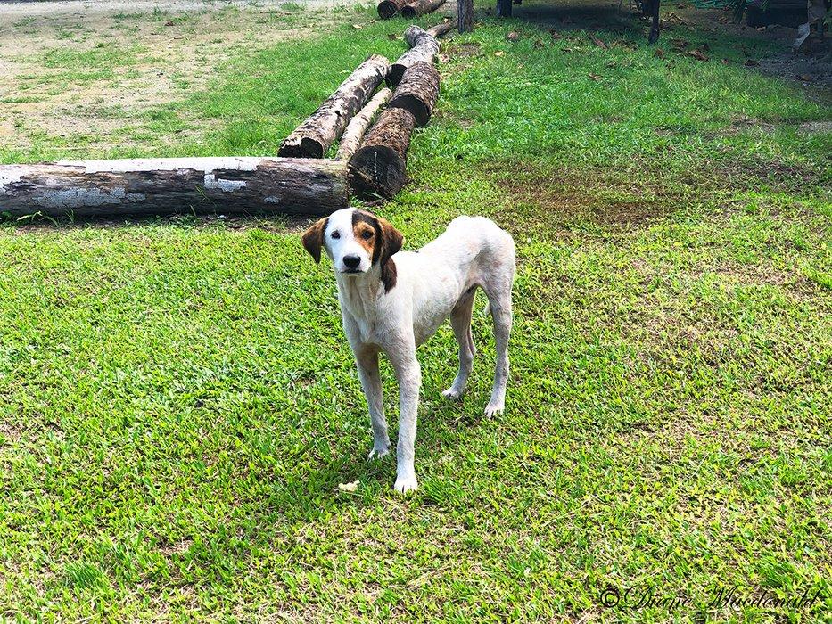 skinny dog parea huahine.jpg