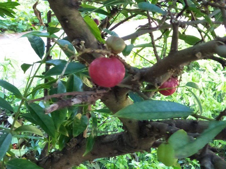 7a Phaleria Macrocarpa 2.jpg