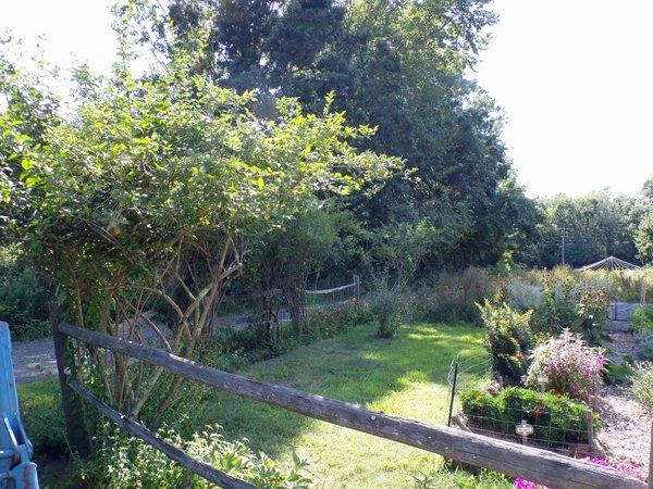 Fence forsythias pruned crop August 2020.jpg