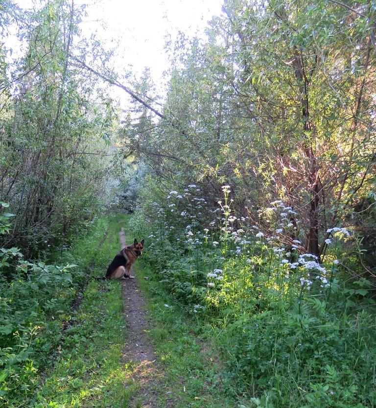Bruno on lane sunling beaming through willows.JPG