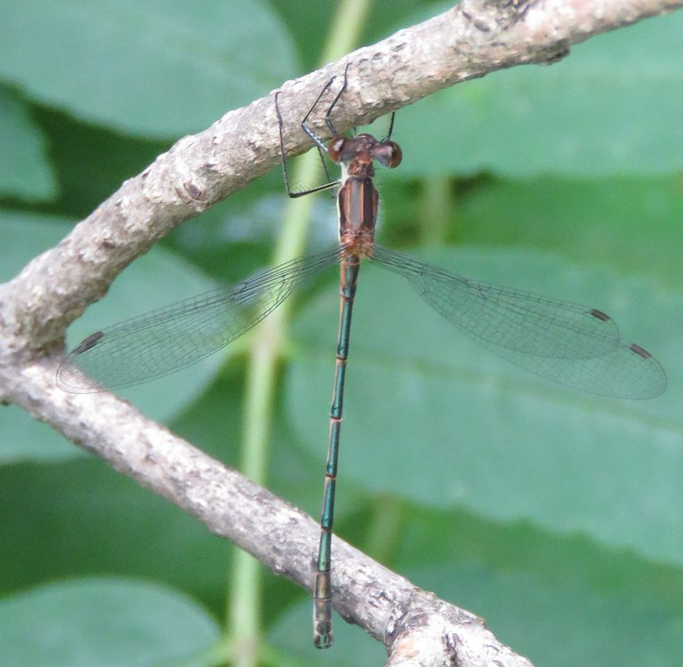 close up delicate dragonfly hanging on branch.JPG