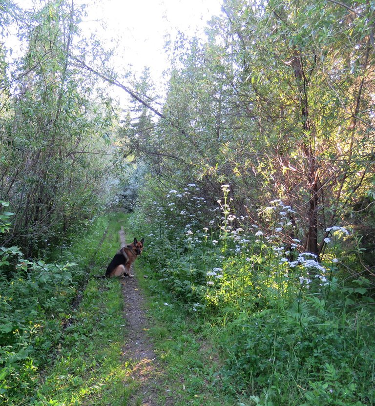 Bruno on lane sunling beaming through willows.JPG