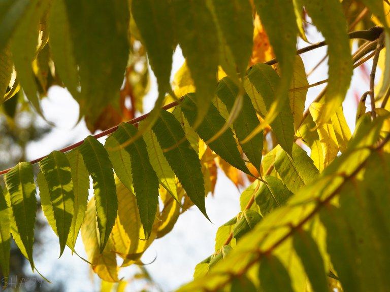 оцтове дерево 2.jpg