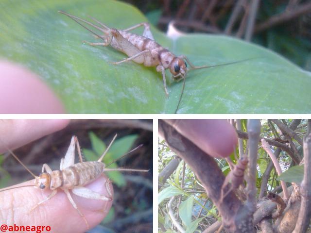 Orden Orthoptera penúltima.png