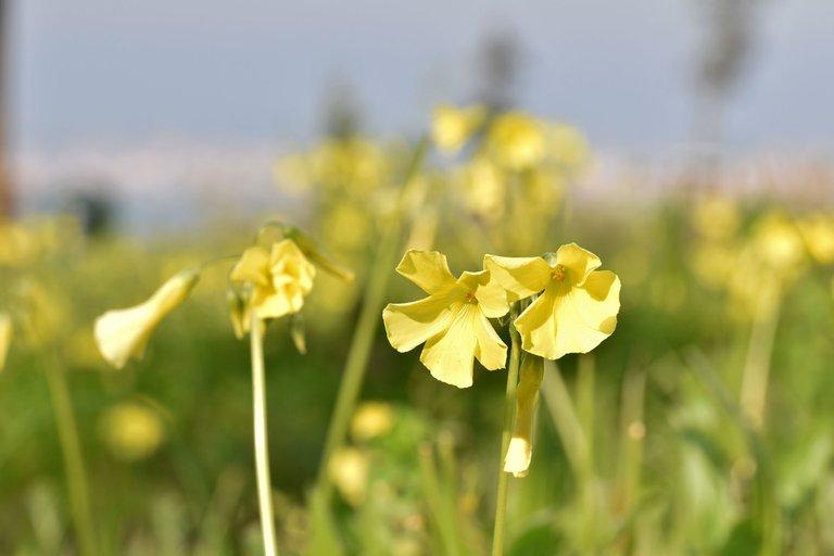 Oxalis yellow flower park 1.jpg
