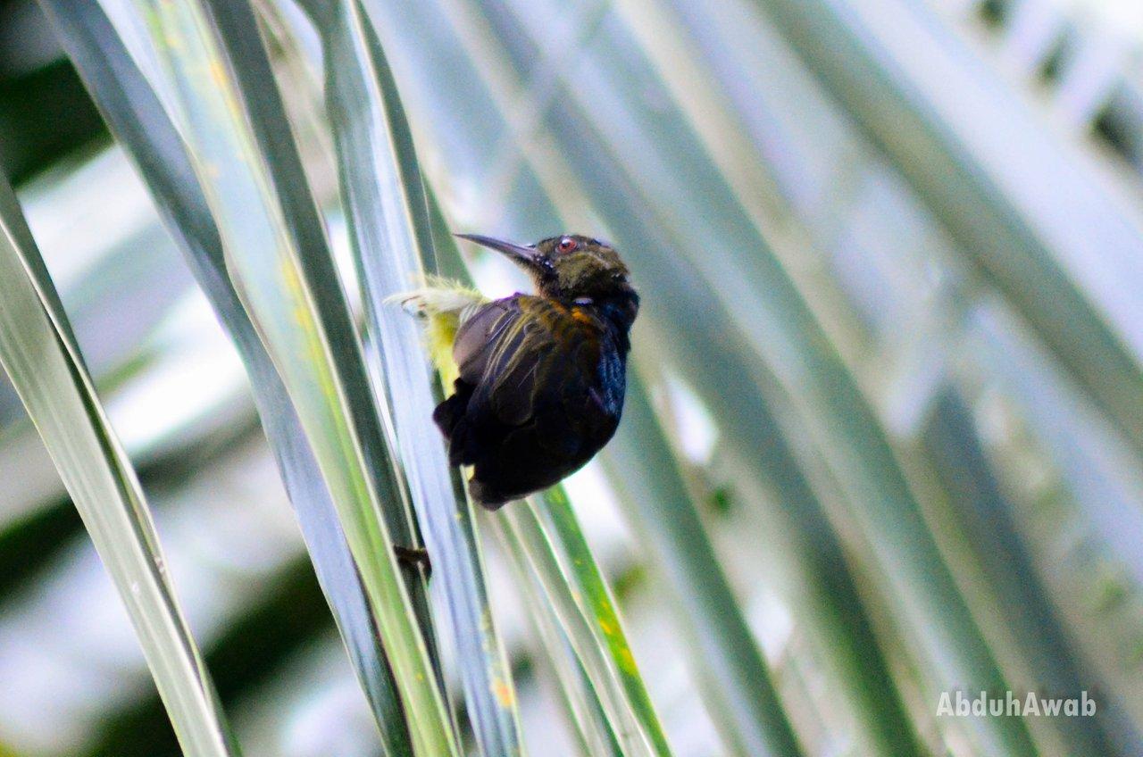 Lovely Feathered Friends Kolibri Asian Hummingbird Peakd