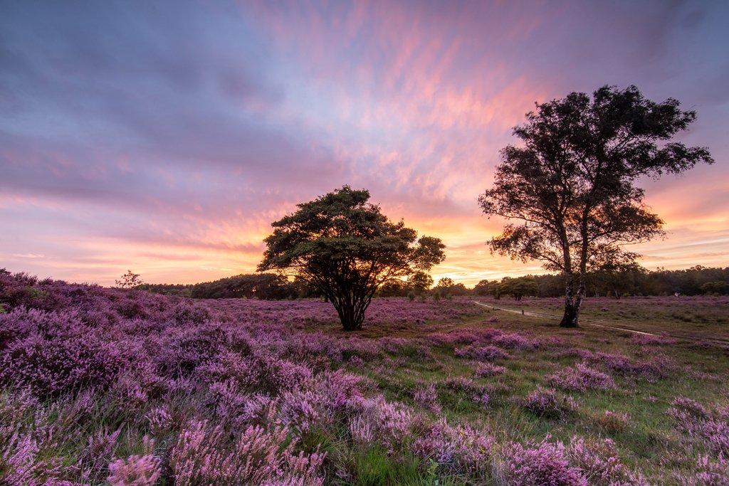Sunset at the heather field!