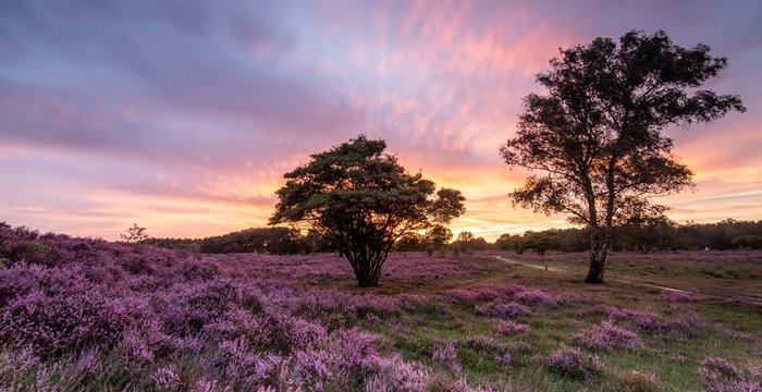 Purple power! National park Utrechtse Heuvelrug Hilversum!